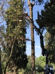 גיזום עץ בהרצליה