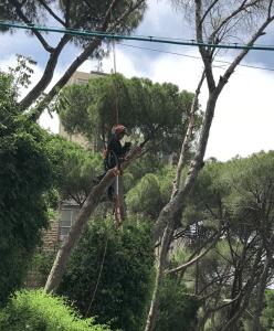 גוזום עצים באור יהודה