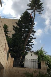 גיזום עצים בגבעת שמואל