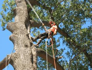 כריתת עצים ביבנה