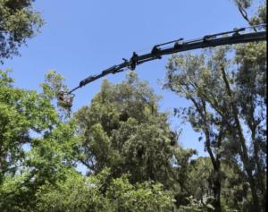 כריתת עצים ברעננה