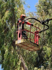 כריתת עצים בשרון