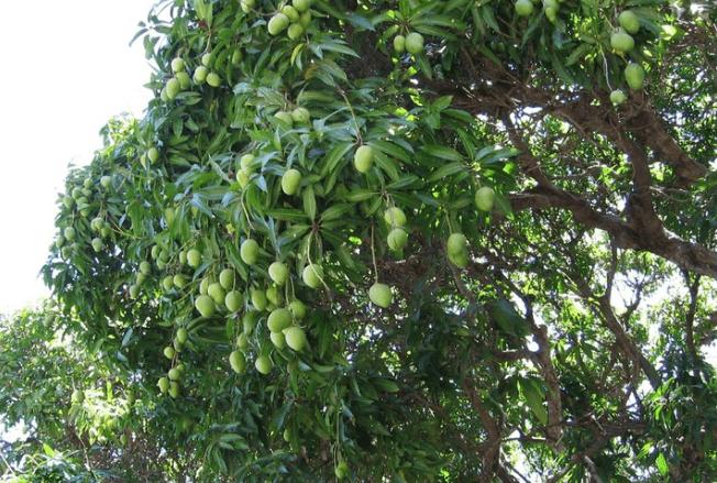 גיזום עץ מנגו